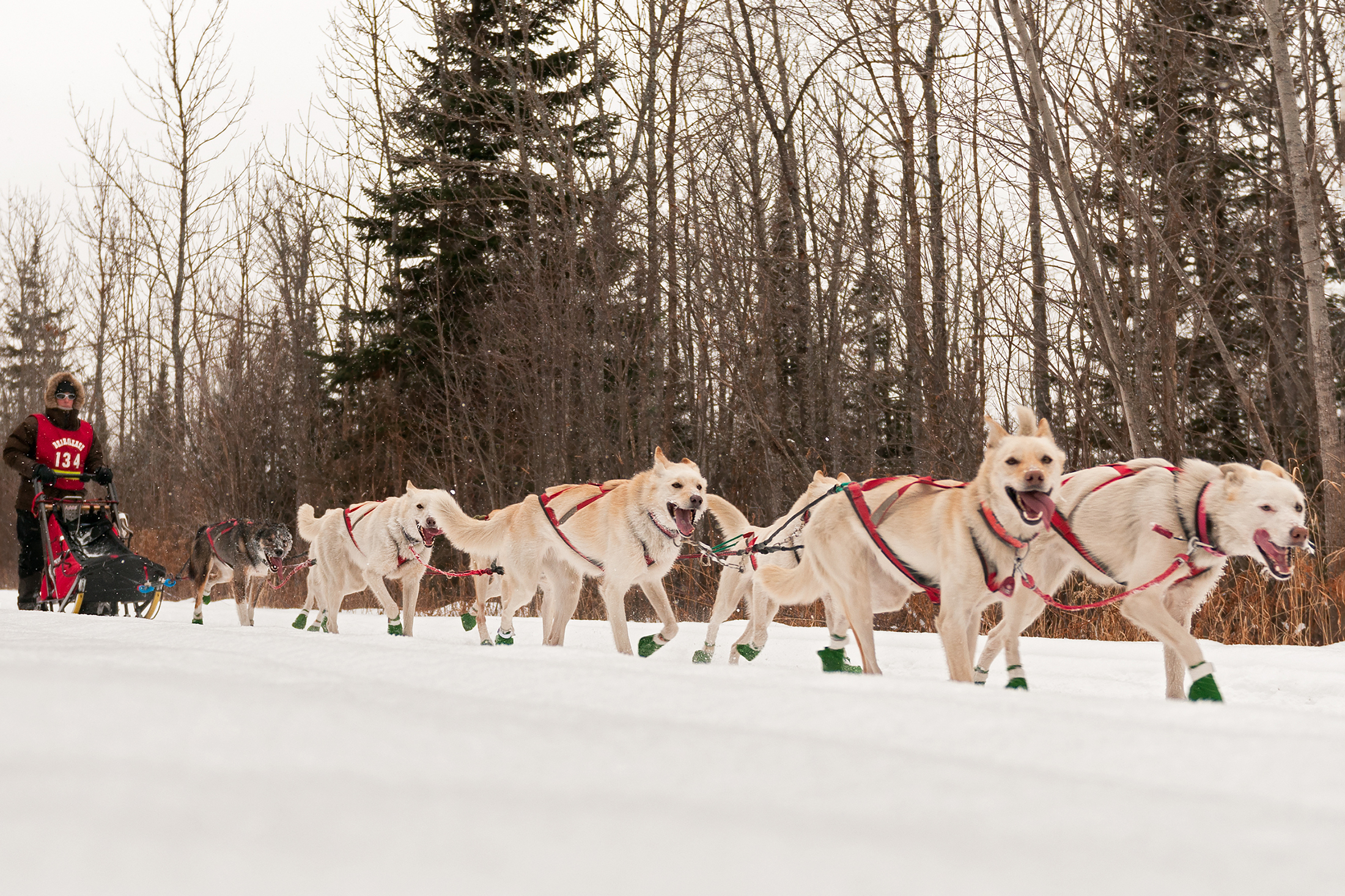 John Beargrease sled dog race