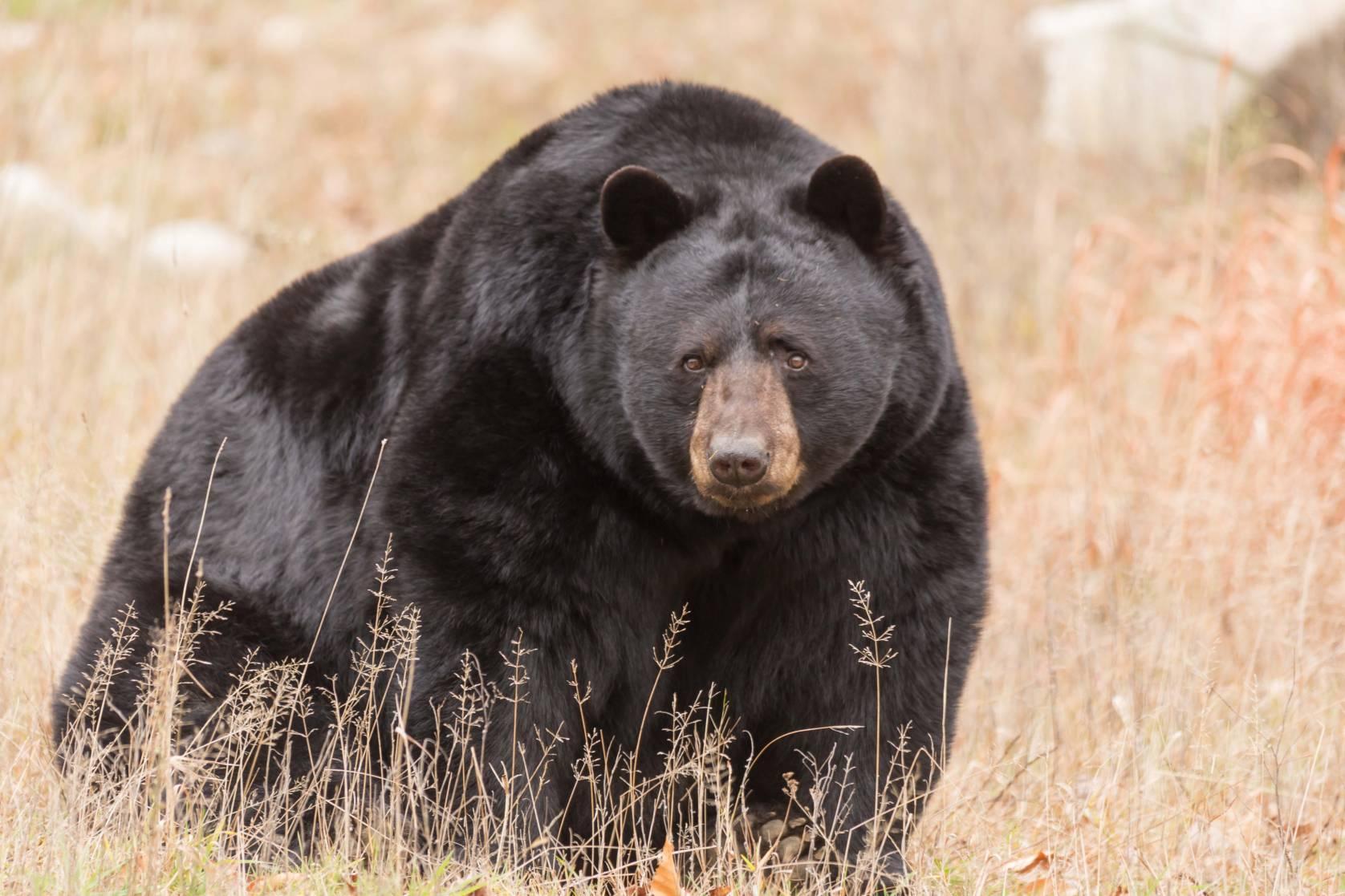black bear hunting ban
