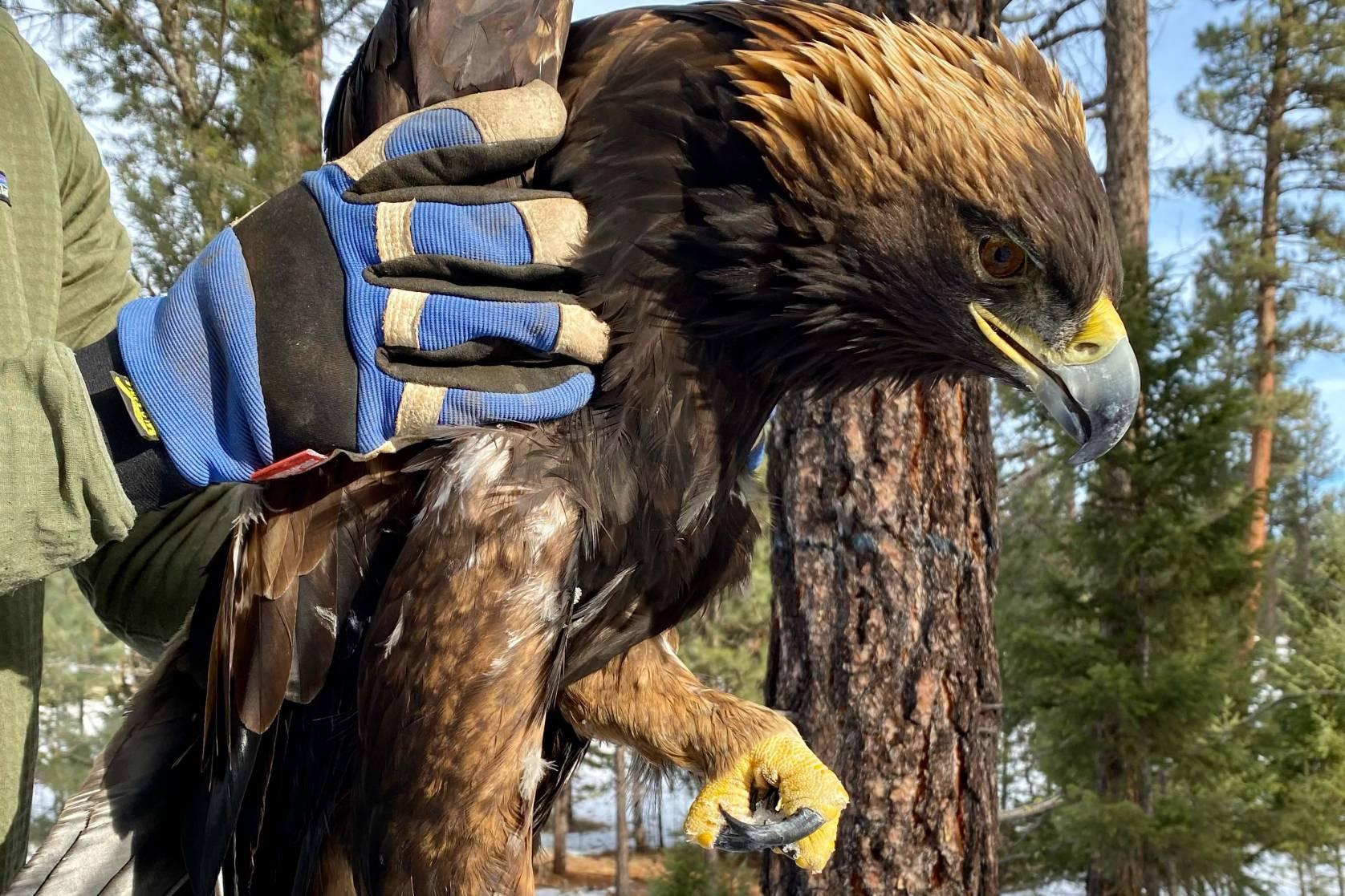 Lead-poisoned golden eagle.