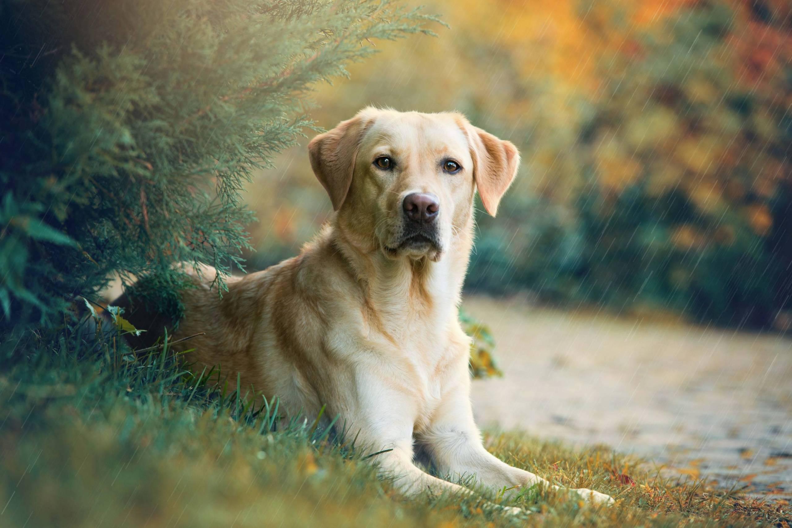 yellow labrador retriever sitting on grass with ears perked