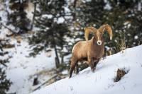 a bighorn sheep in Opsrey film