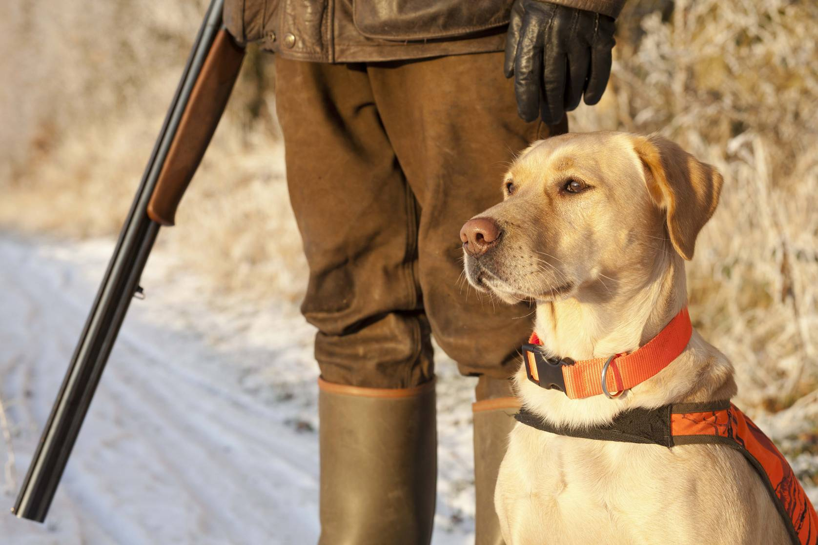 Hunter with Rifle standing next to yellow Labrador Dog