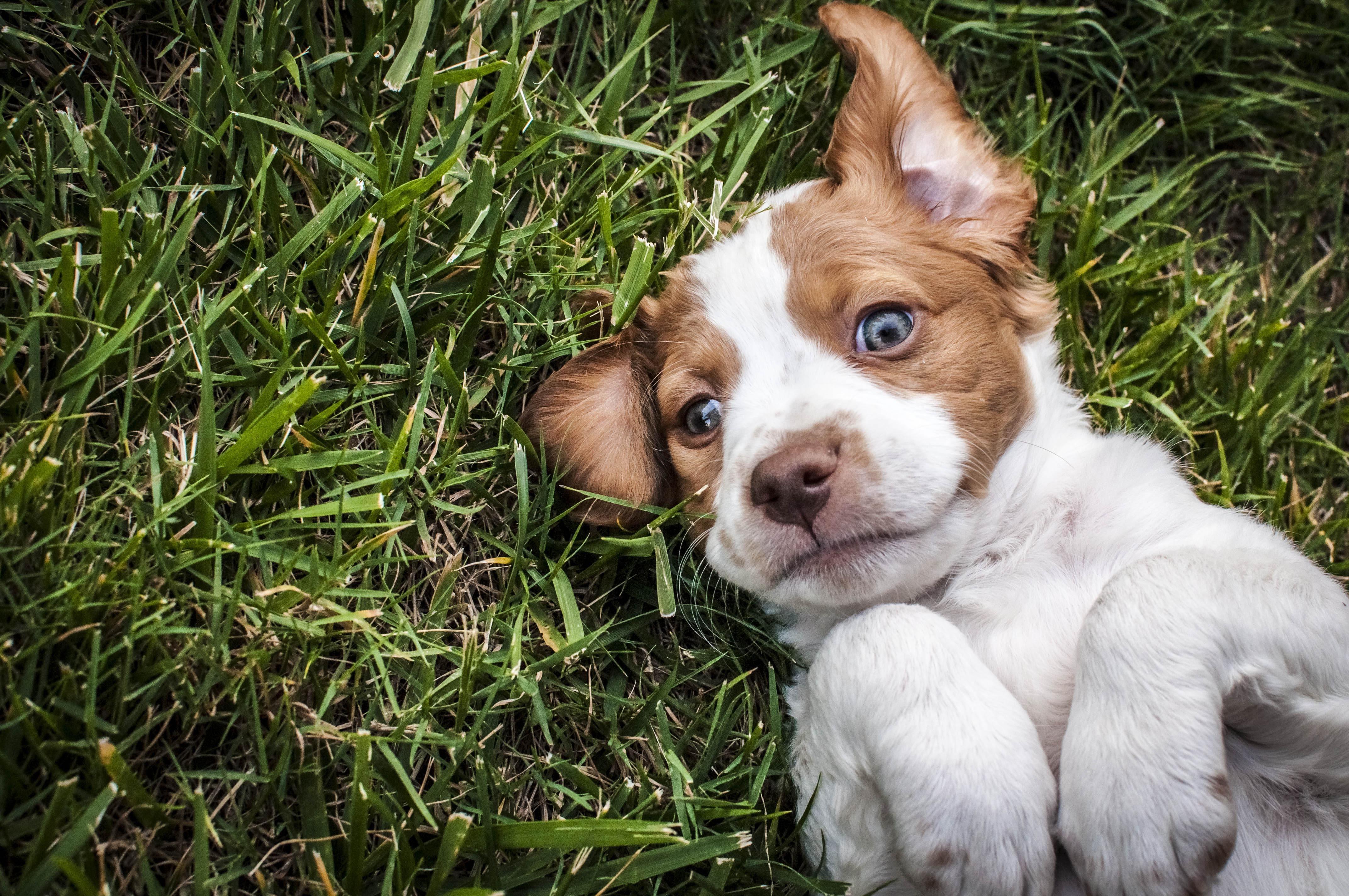 Brittany,Spaniel,Puppy