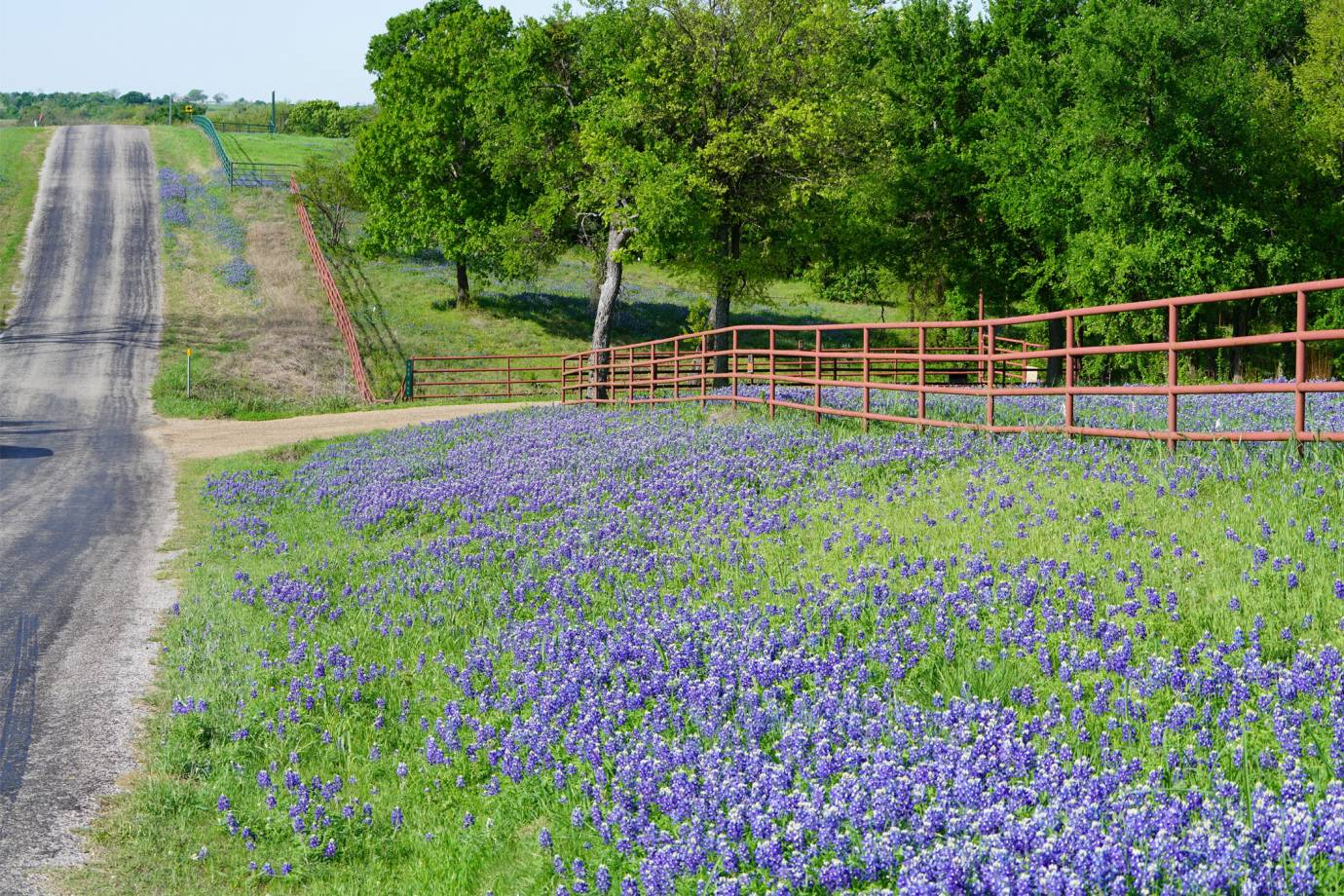 purple wildflowers along a country road in Texas