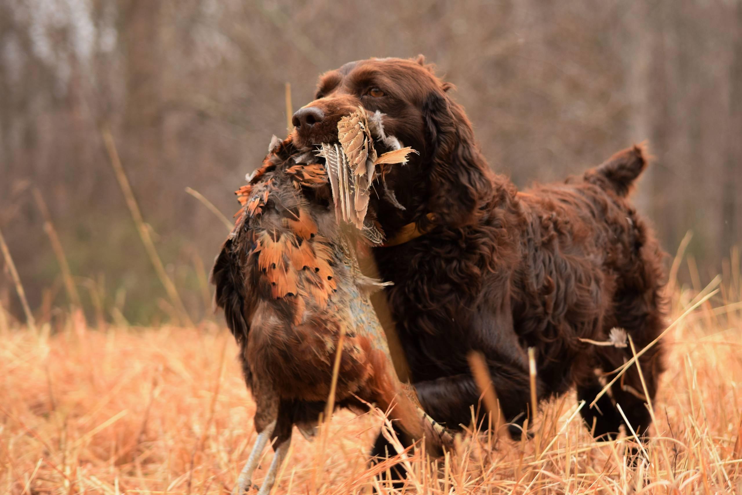 hunting boykin spaniel