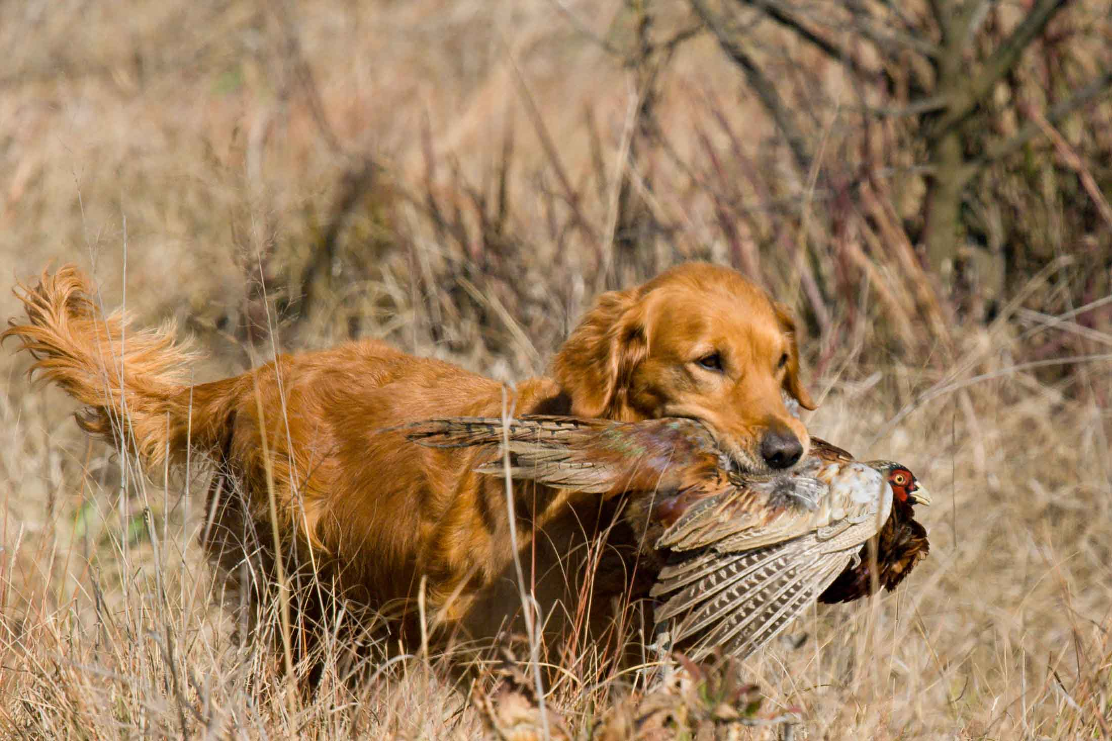 Hunting Golden Retriever
