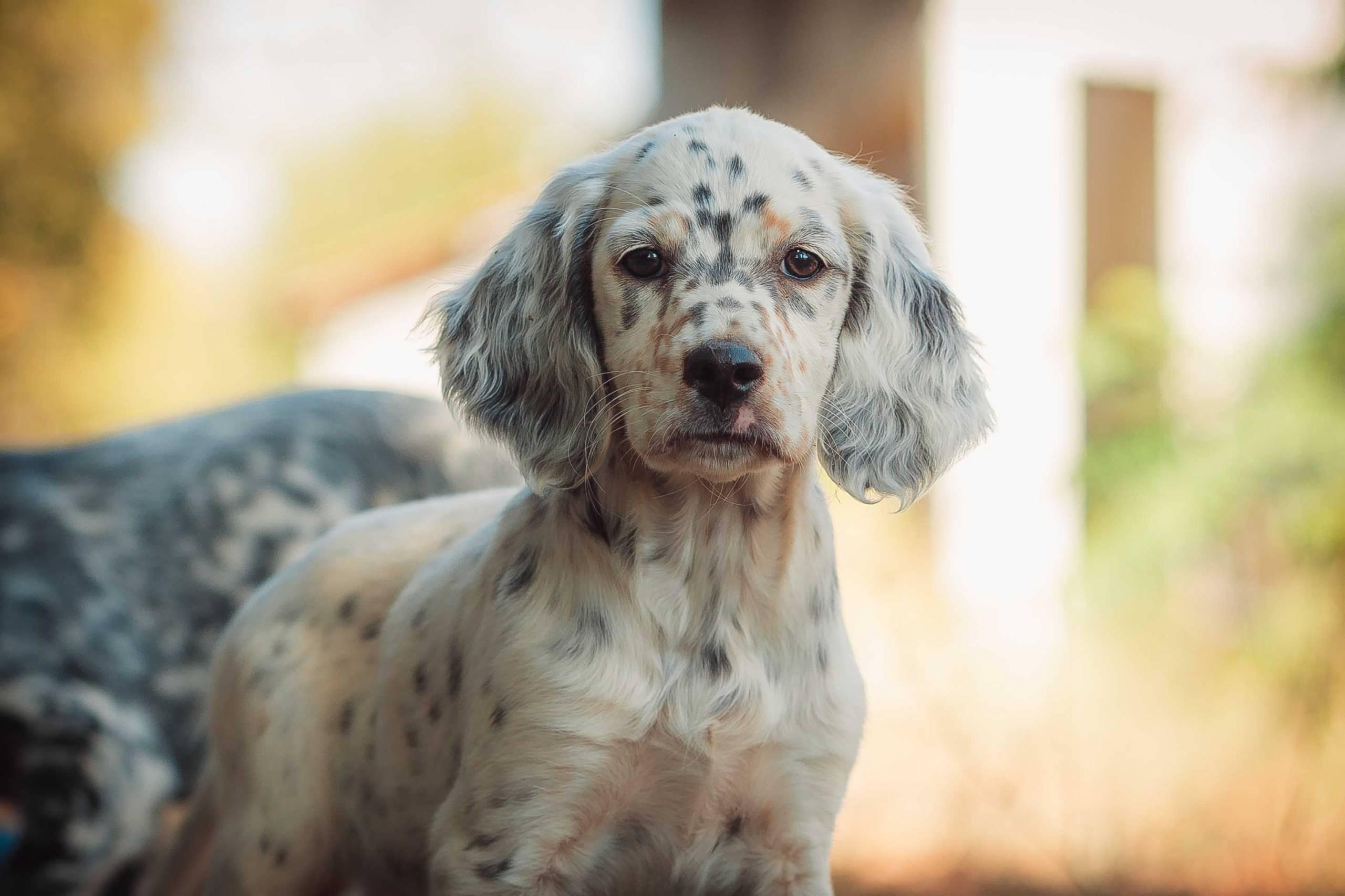 english setter puppy