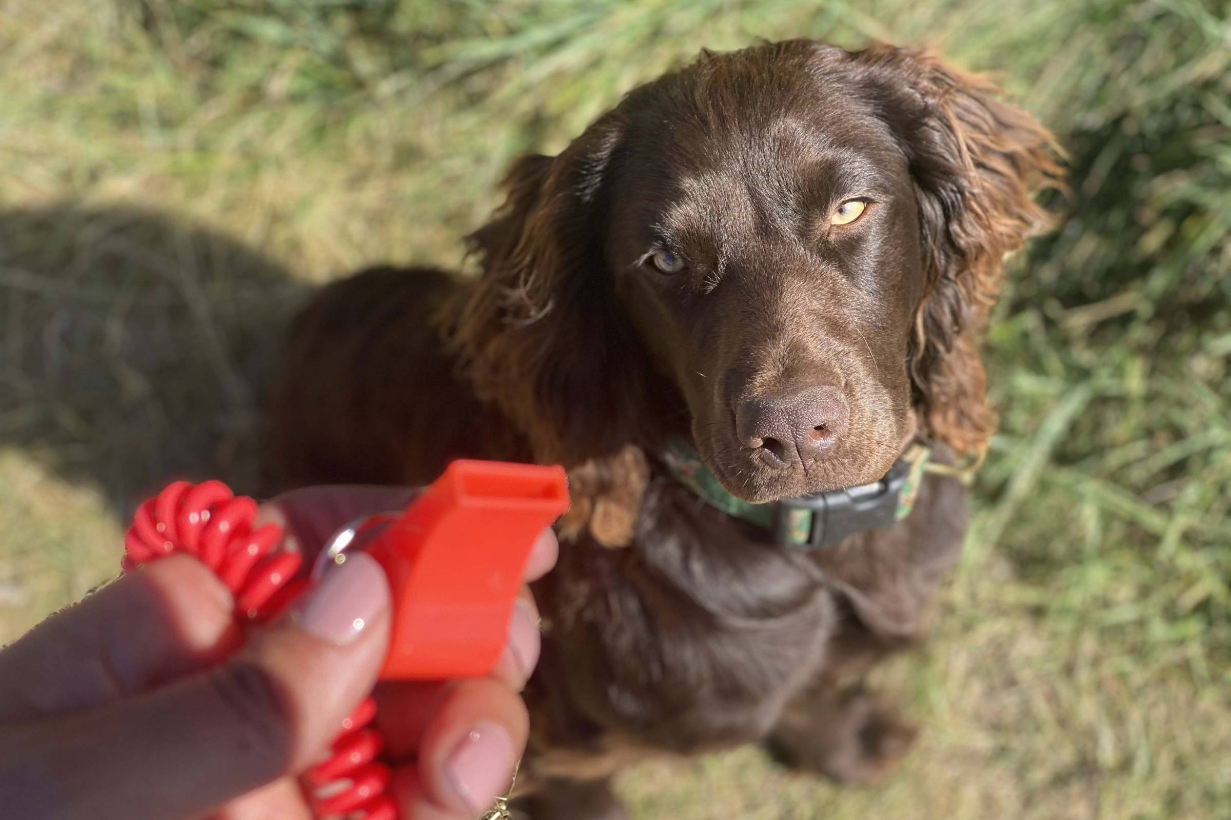 whistle commands for bird dogs