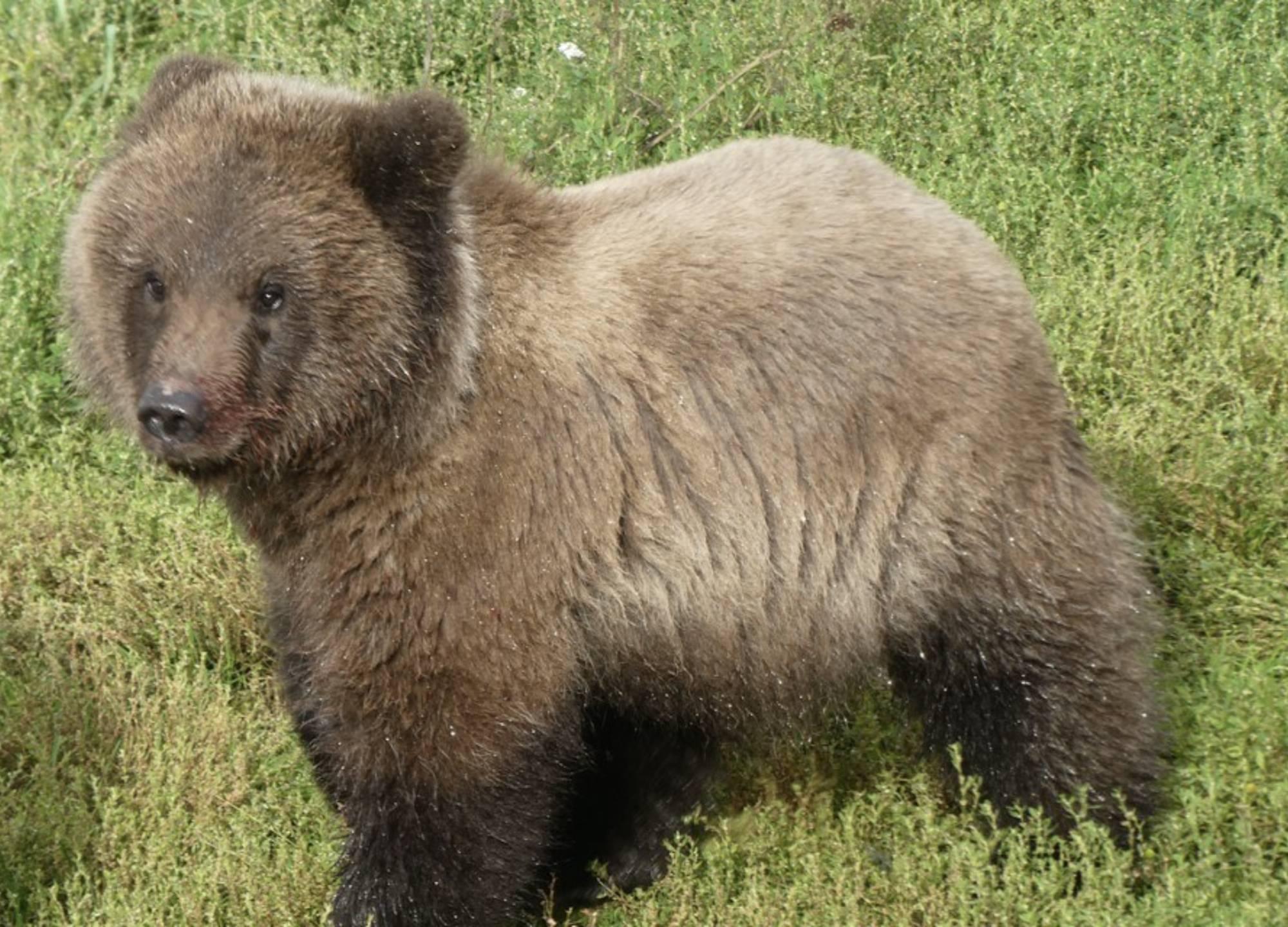 a spring bear cub in Katmai NP in Alaska