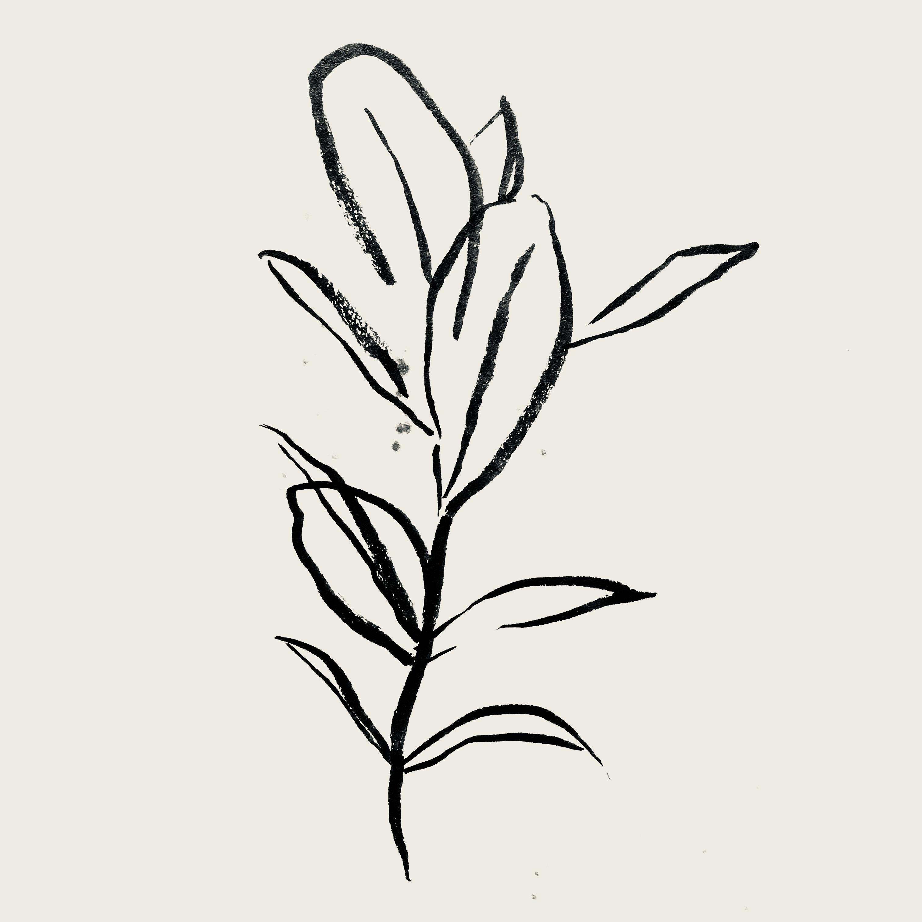 Rubber plant 'ficus elastica'