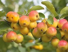 Apricots Trees Bare Root Fruit Trees, 1 each, Plus Bonus