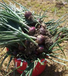 Red Candy Apple Hybrid Onion Plants - Sweet Hardy Variety - 50 or more