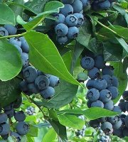 Premier+Blueberry+Plants-+Fruit+-+Bare+Root+-+Healthy+Plants+-+2+pack+with+Bonus