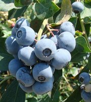 Tifblue+Blueberry+Plants-+Fruit+-+Bare+Root+-+Healthy+Plants+-+2+pack+with+Bonus