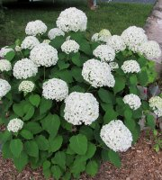 Annabelle+Hydrangea+Shrub+-+3.5%22+Potted+Plant+-+3+pack