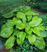Sum+and+Substance+Hosta+Bare+Root+-+3pk.