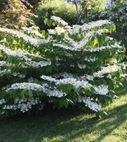 Snowball+Bush+Viburnum+plicatum+%27Mariesii%27+-+3.5%22+Healthy+Potted+Plant+-+3+Pack