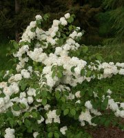 Japanese+Snowball+-+Viburnum+%27Popcorn%27+-+3.5%22+Healthy+Potted+Plant+-+3+Pack