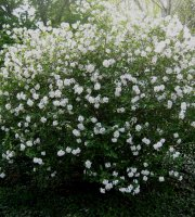 Fragrant+Snowball+Viburnum+x+carlcephalum+-+3.5%22+Healthy+Potted+Plant+-+3+Pack