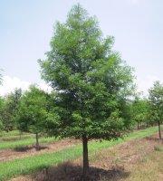 Bald+Cypress+Tree+-+Bare+Root+Plants+-Shade+Tree+-+3+pack+with+Bonus