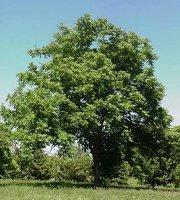 Butternut+%28White+Walnut%29+Tree+-+Bare+Root+Plant+-+Shade-+3+pack+with+Bonus