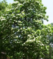 Catalpa+Tree+-+Healthy+Bare+Root+Plant+-+Shade+-+3+pack+with+Bonus