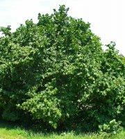 Hazelnut+Tree+-+Healthy+Bare+Root+Plant+-+Nut+-+Shade+-+3+pack+with+Bonus