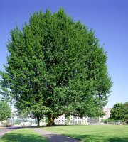 Pin+Oak+Tree+-+Healthy+Bare+Root+Plant+-+Shade+-+3+pack+with+Bonus