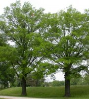 Willow+Oak+Tree+-+Bare+Root+Plants+-+Shade+Tree+-+3+pack+with+Bonus