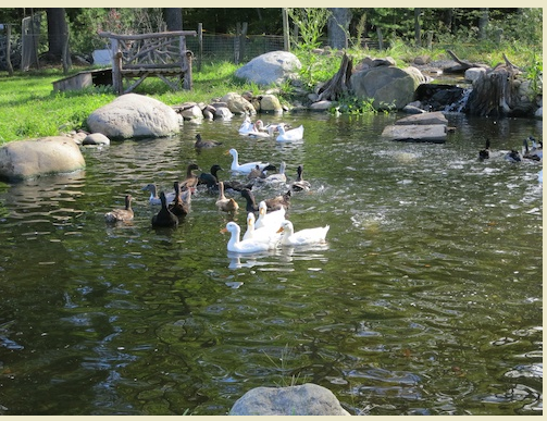 DUCKS REMOVED FROM ANIMAL HOARDER SWIM FOR THE FIRST TIME: VIDEO