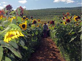 Lyman-Sunflower-Maze-3
