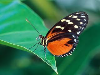 butterfly wallpapers HD 12