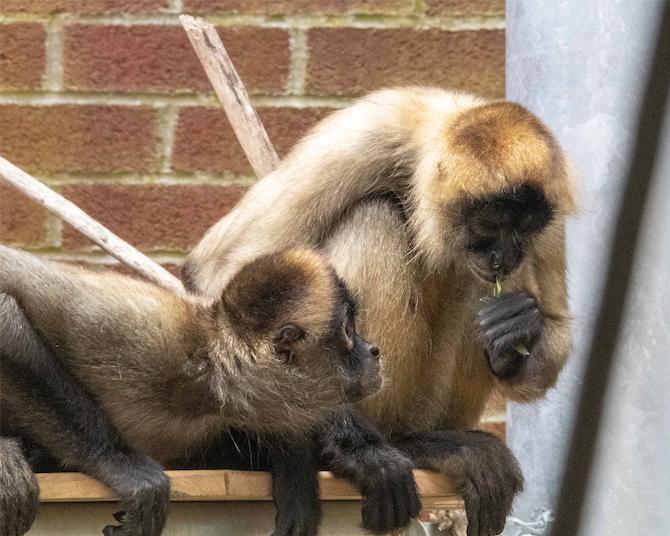 Beardsley Zoo Halloween 2020 CT's Beardsley Zoo Offers Spider Monkey Webcam