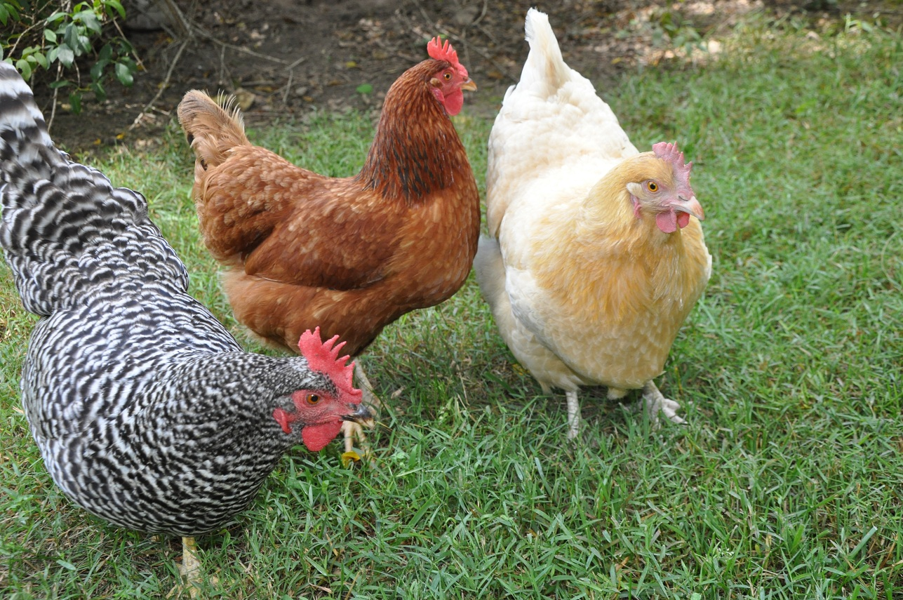 Image result for images of live chickens