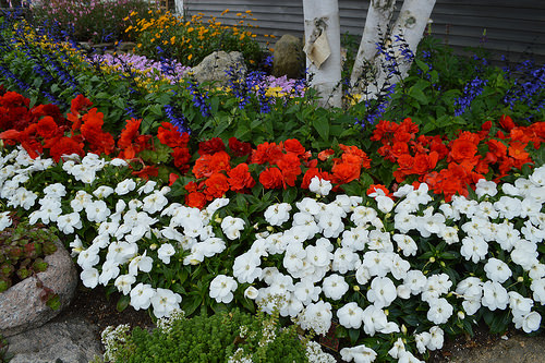 Plant a patriotic flower garden prev mightylinksfo