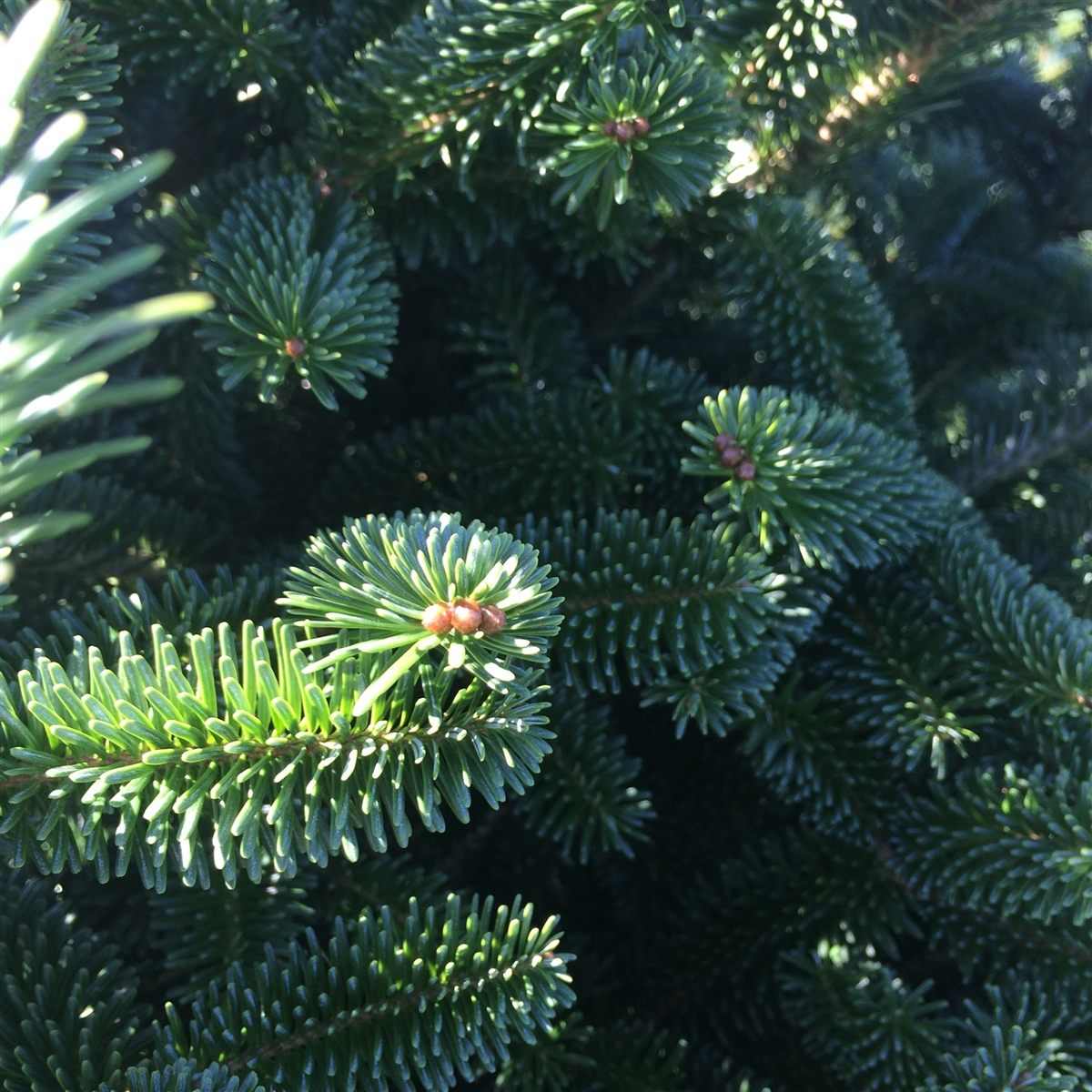 sandy hook volunteer fire rescue christmas trees sale begins on friday - Cheap Real Christmas Trees For Sale