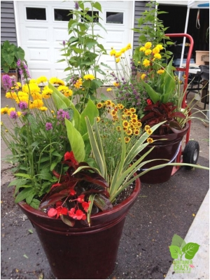 Broad Brook's Container Crazy Cathy T Shows How Container Garden can have a Mix of Perennials and Annuals Upon Planting!