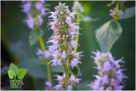 Perennial: Agastache 'Blue Fortune' blooms all summer long