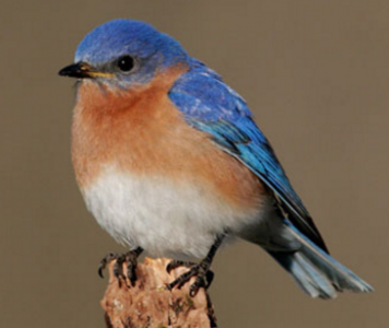 How to Attract Bluebirds to Your Back Yard
