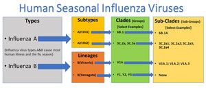 This graphic shows the two types of influenza viruses (A,B) that cause most human illness and that are responsible for the flu season each year. Influenza A viruses are further classified into subtypes, while influenza B viruses are further classified into two lineages: B/Yamagata and B/Victoria. Both influenza A and B viruses can be further classified into specific clades and sub-clades (which are sometimes called groups and sub-groups).