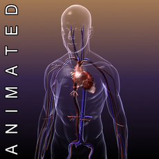 Circulatory System Anatomy in a Human Body 3D Model