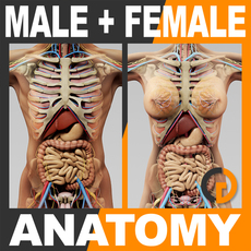 Human Male and Female Anatomy - Body, Skeleton and Internal Organs 3D Model
