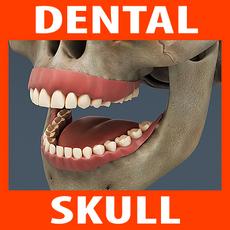 Human Dental Skull - Teeth Gums Tongue 3D Model