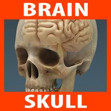 Anatomy - Human Brain and Skull 3D Model