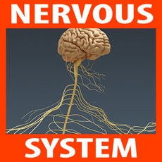 Human Brain and Nervous System - Anatomy 3D Model