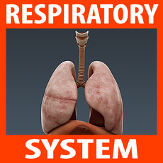 Human Respiratory System and Diaphragm - Anatomy 3D Model