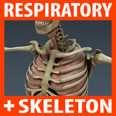 Human Respiratory System and Skeleton - Anatomy 3D Model