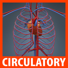 Human Circulatory System - Anatomy 3D Model
