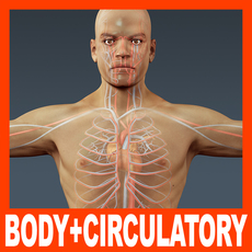 Human Male Body and Circulatory System - Anatomy 3D Model