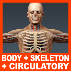 Human Male Body, Circulatory System and Skeleton - Anatomy 3D Model